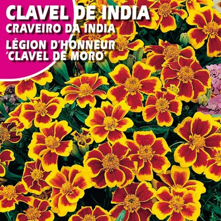 """CLAVEL DE INDIA LEGION D'HONEUR """"CLEVEL DEL MORO"""""""