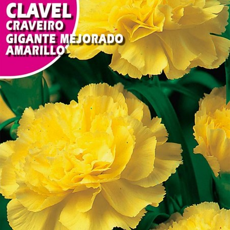 CLAVEL GIGANTE MEJORADO AMARILLO
