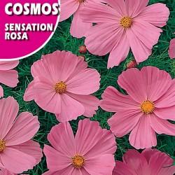COSMOS SENSATION ROSA