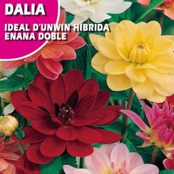 DALIA IDEAL D'UNWIN HIBRIDA ENANA DOBLE VARIADO