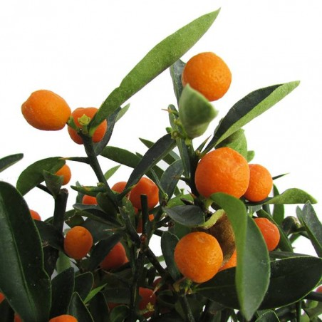 Bonsái citrus yuzu