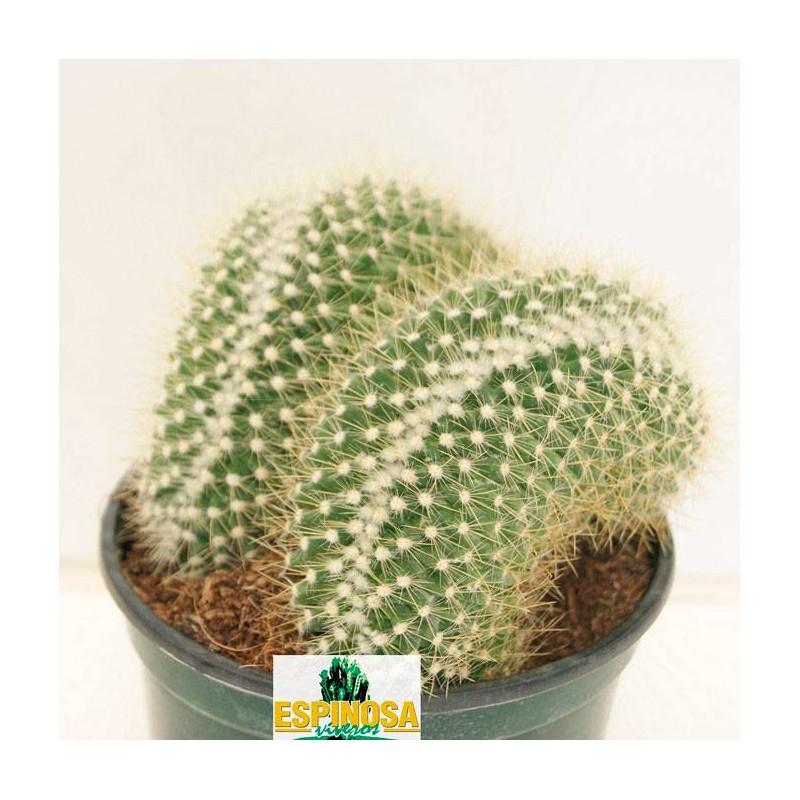 Cactus mammillaria pringlei cristata