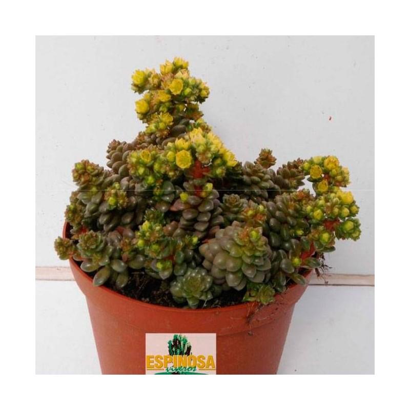 Cactus cremnosedum little gem