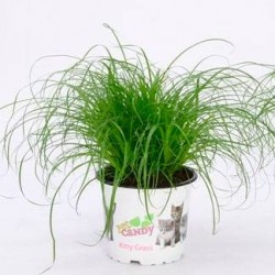 Cyperus alternifolius zumula