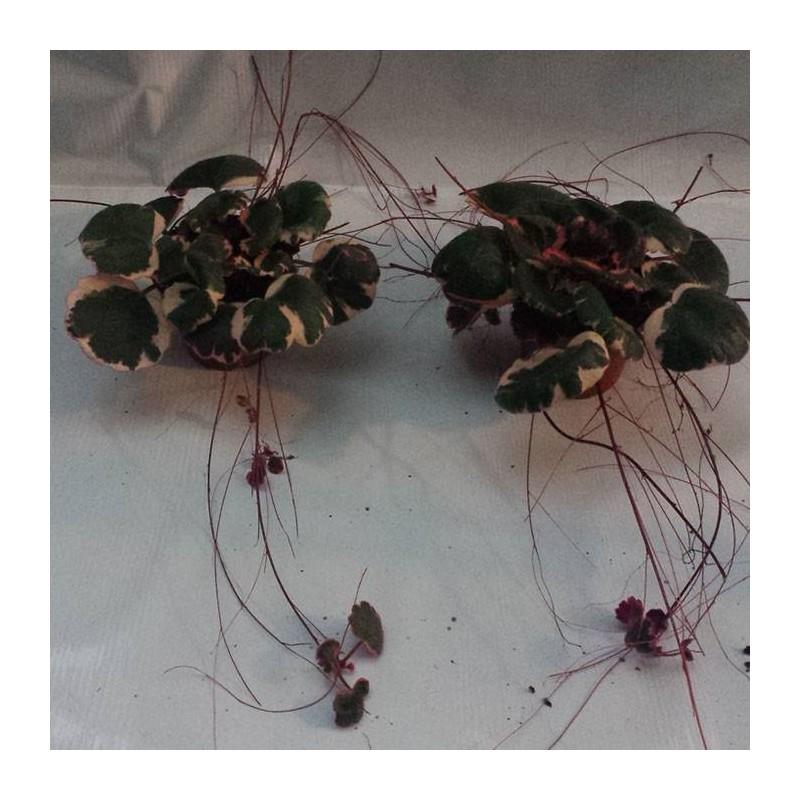 Saxifraga tricolor