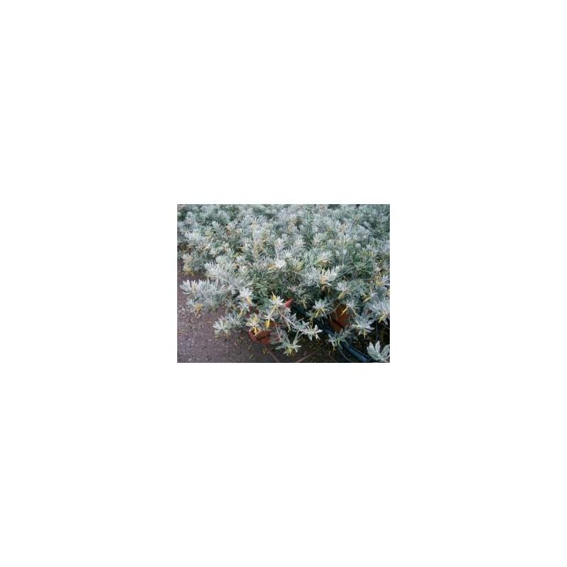 Eremophila glabra kalbarri carpet