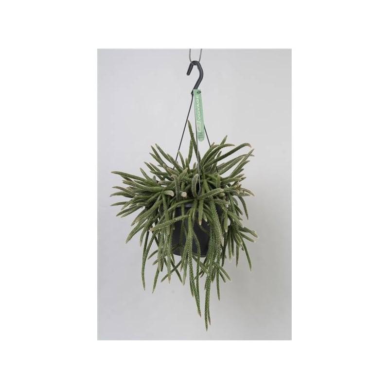Cactus rhipsalis baccifera sub horrida