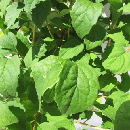 Celinda philadelphus virginueus