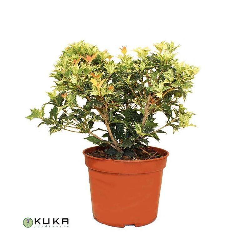 Osmanthus heterophyllus tricolor goshiki