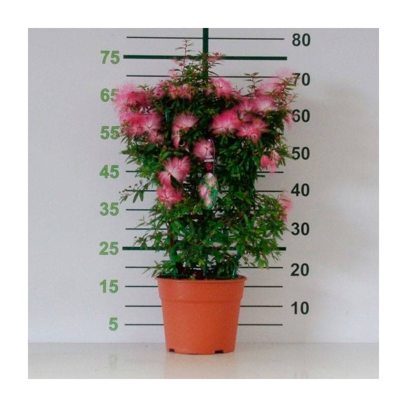Calliandra surinamensis dixie pink