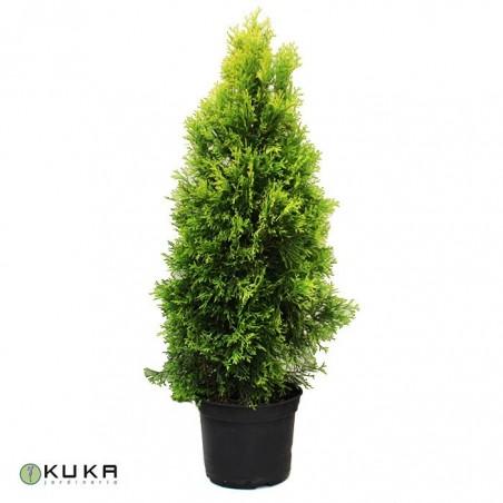 Tuya occidentalis golden smaragd