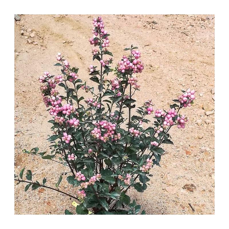 Symphoricarpus doorenbosii magic rose