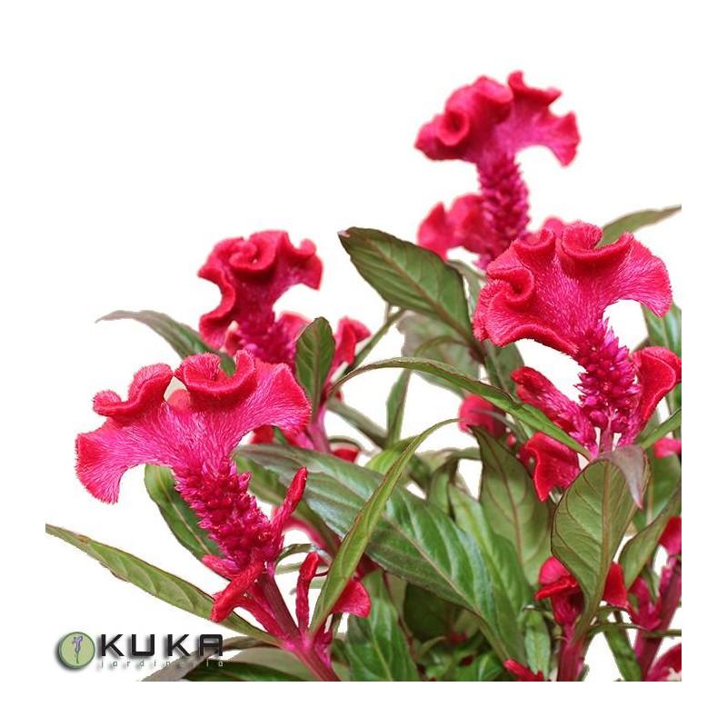 Häufig celosia hot topic violeta | amarantho| celosia plumosa | planta vivaz PA77