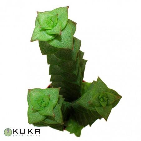 Cactus crassula perforata