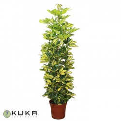 Schefflera Arboricola Gold...