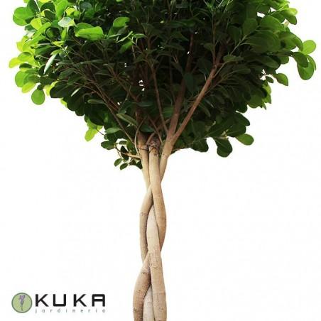 Ficus nitida marisma