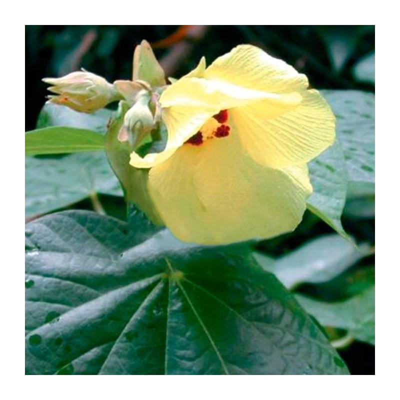 Hibiscus tiliaceus sitriya