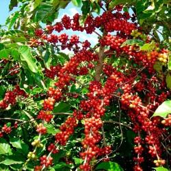 Cafeto robusta