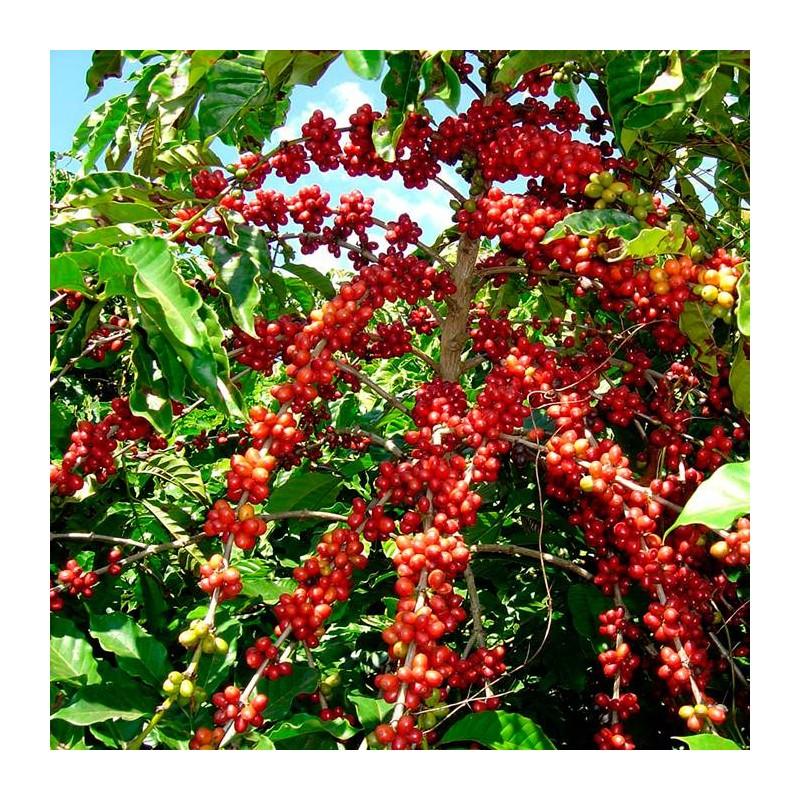 cafeto robusta planta del cafe fogo cabo verde coffea arabica