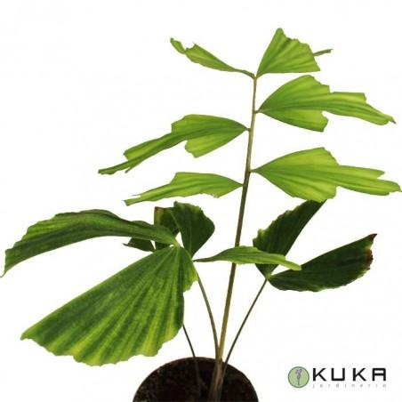 Caryota obtusa