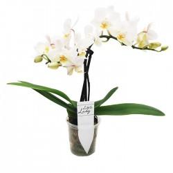 Orquidea Phalaenopsis Mini