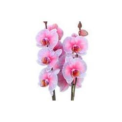 Orquídea phalaenopsis sensation