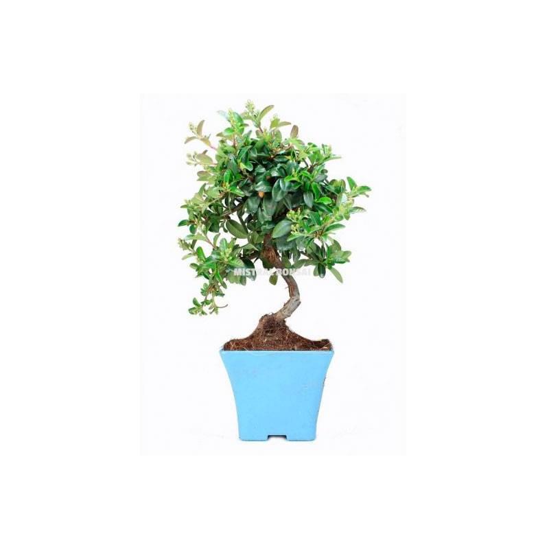Tiestos de plástico bonsái