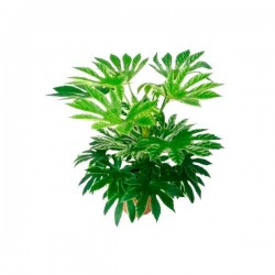 Aralia japonica