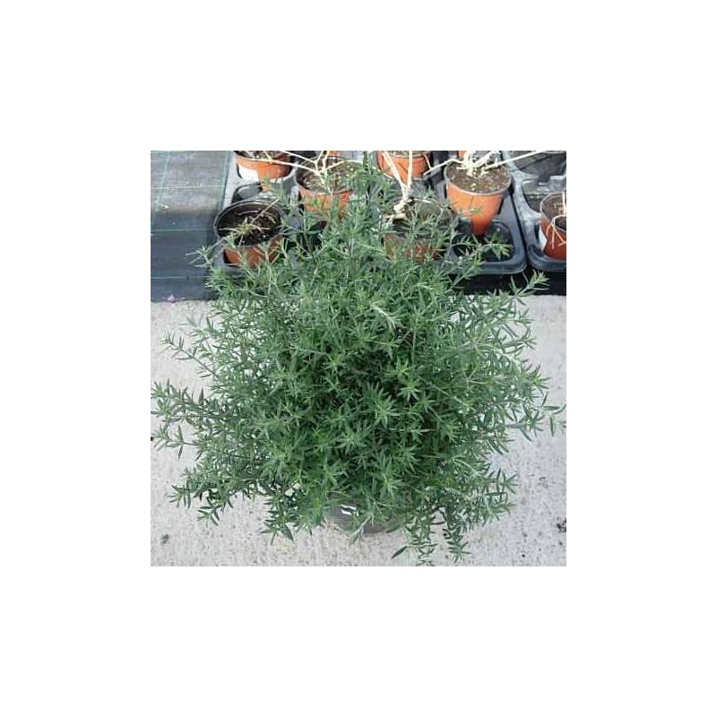 Westringia longiflora