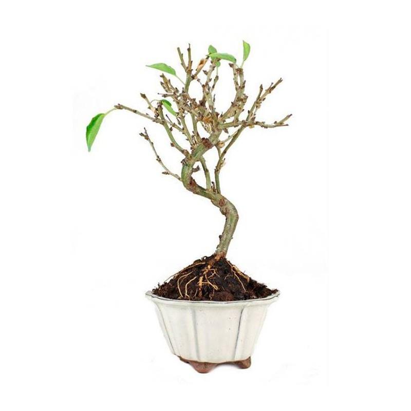 Bonsai prunus mahaleb