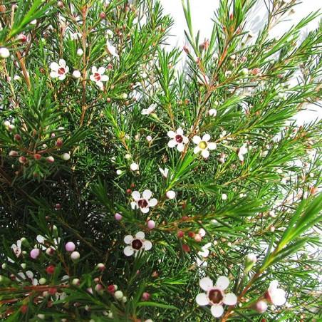 Chamelaucium wax flower