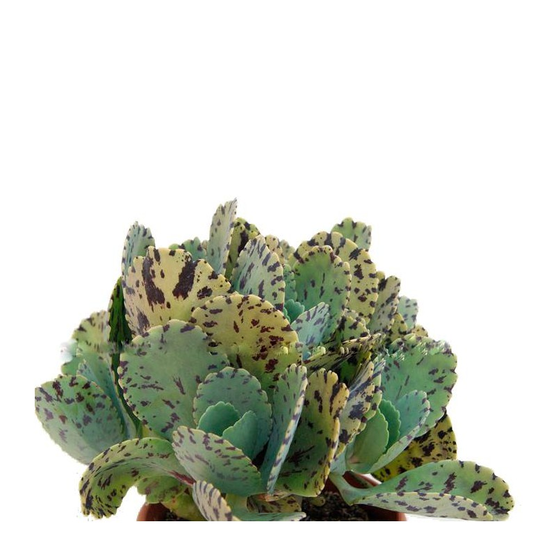 Cactus kalanchoe marmorata
