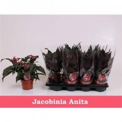 Jacobinia anita