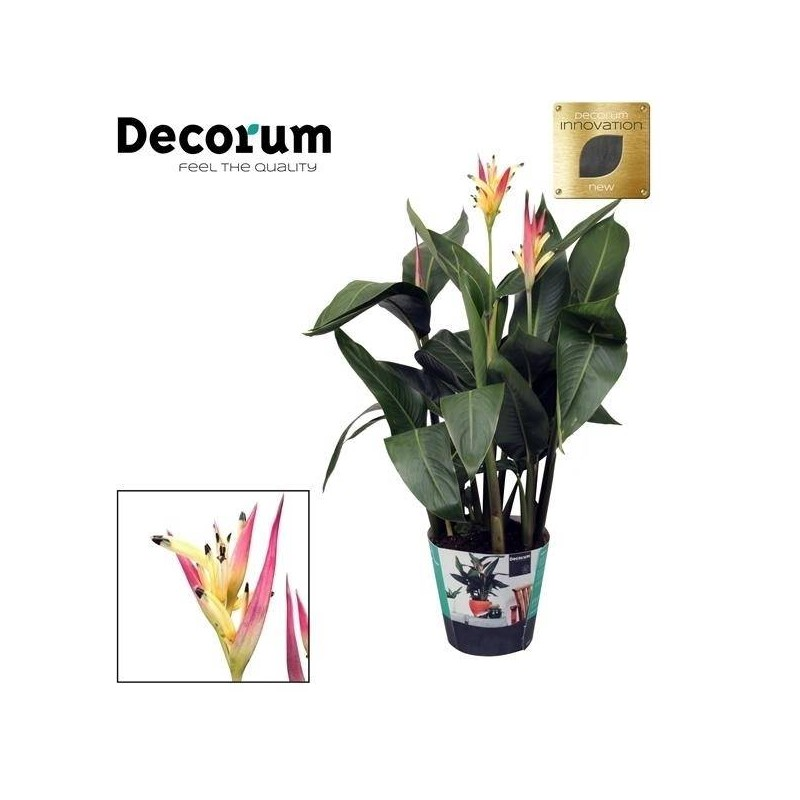 Heliconia psitacorum Hawai