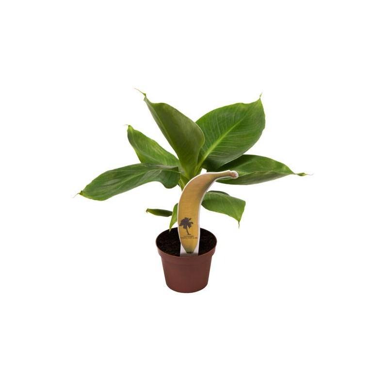 Musa acuminata cheeka