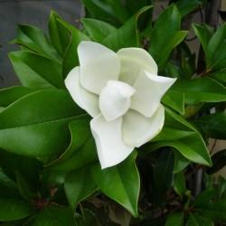 Magnolia grandiflora gallisonensis