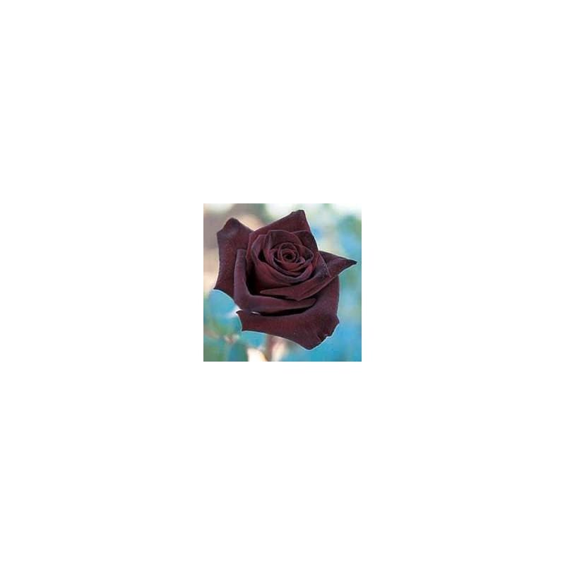 Rosal Perla Negra