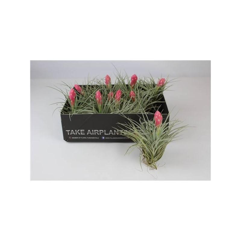Tillandsia met bloem