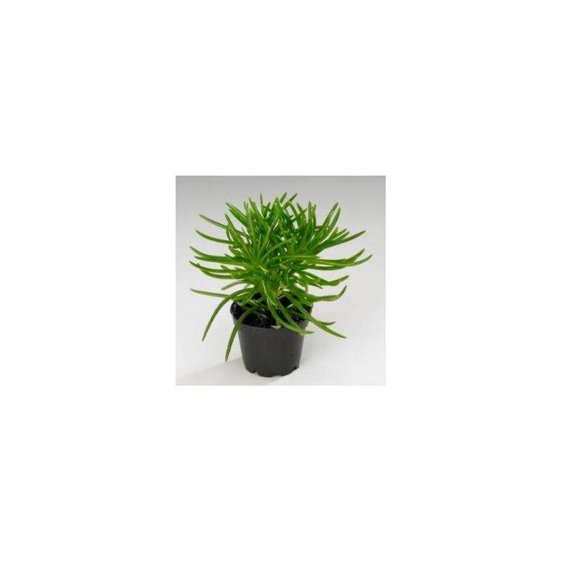 Cactus senecio rowleyanus