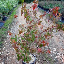 Acer tataricum ginnala