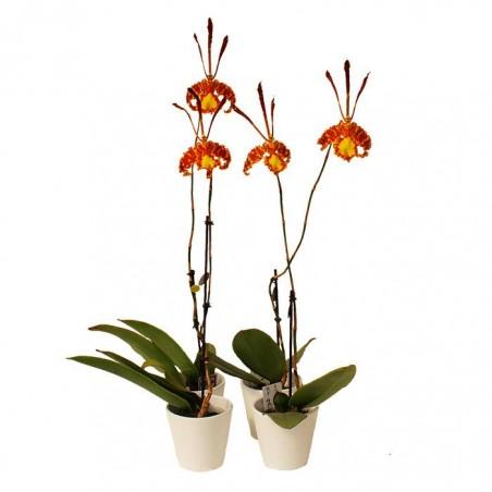 Orquídea psyopsis mariposa
