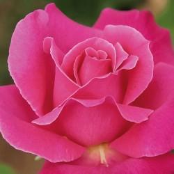 Rosal caprice de meilland
