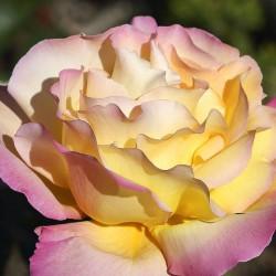 Rosal Mme.Meilland