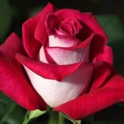 Rosal copa alta Monica Belluci