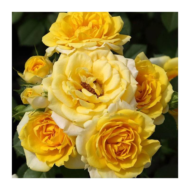 Rosal Pie Bajo Gold Symphonie