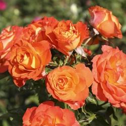 Rosal Pie Bajo Mandarine Symphonie