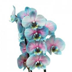 Orquídea phalaenopsis wond...
