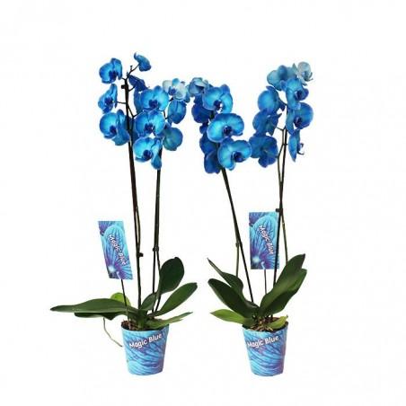 Orquídea phalaenopsis royal blue