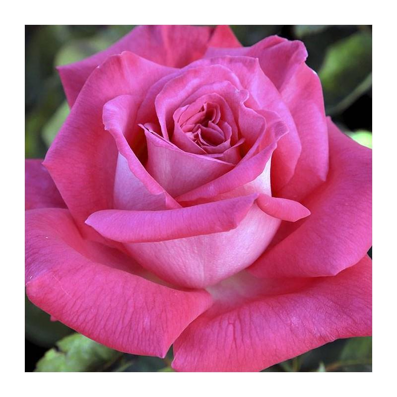 Rosal Lolita Lempicka