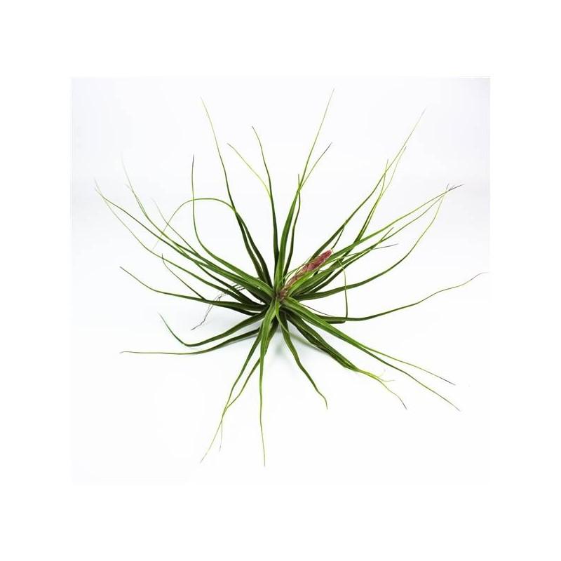 Tillandsia schiedona